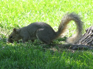 A squirrel in Gibson Park years ago.